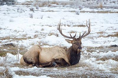 Photograph - Bull Elk by Michael Chatt