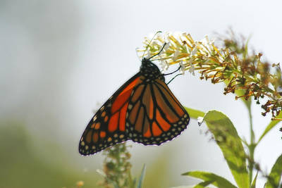 Photograph - Monarch Butterfly by Corey Haynes