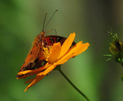 Flower Photograph - Butterfly by Dart and Suze Humeston