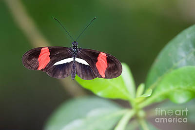 Roaring Red - Butterfly by Markus Gann
