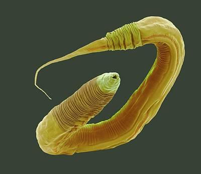 Neuroscience Photograph - C. Elegans Worm by Steve Gschmeissner