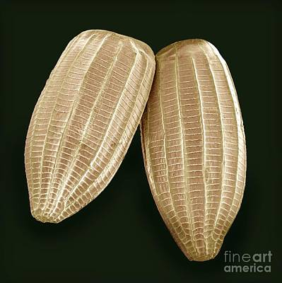 Cabbage White Butterfly Eggs, Sem Art Print by Steve Gschmeissner