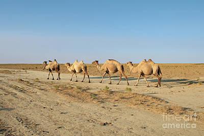 Photograph - Camel. by Alexandr  Malyshev