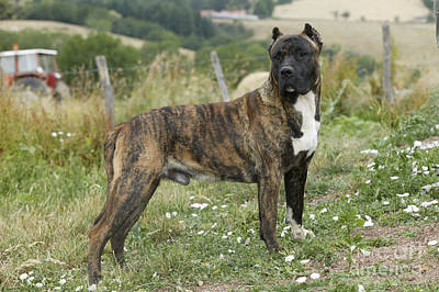 Brindle Photograph - Canary Dog by Jean-Michel Labat