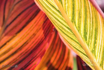 Photograph - Canna Lily Named Durban by J McCombie