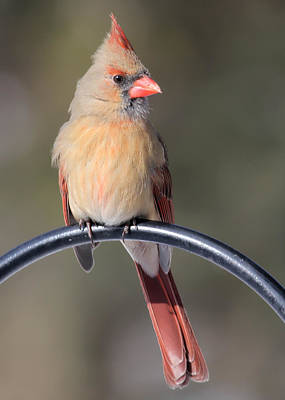 Photograph - Cardinal by John Kunze