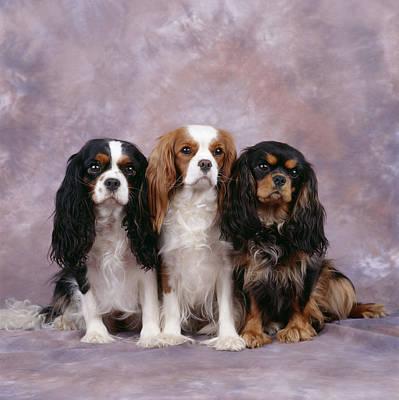 Best Friend Photograph - Cavalier King Charles Spaniels by John Daniels