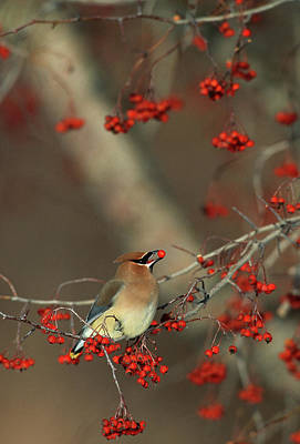 Cedar Waxwing Photograph - Cedar Waxwing (bombycilla Cedrorum by Richard and Susan Day