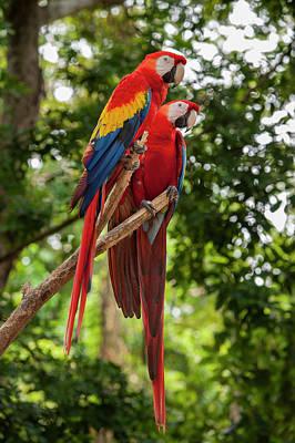 Scarlet Macaw Photograph - Central America, Honduras, Roatan by Jim Engelbrecht