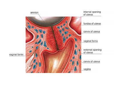 Vagina Photograph - Cervix In Pregnancy by Asklepios Medical Atlas