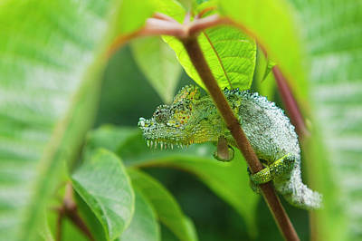 Chameleon Photograph - Chameleon, Nakuru, Kenya by Keren Su