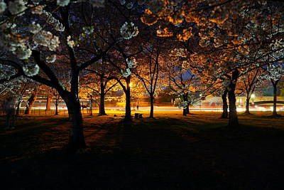 Cherry Blossoms At Night Art Print