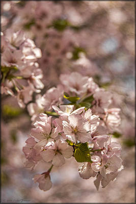 Photograph - Cherry Blossoms by Erika Fawcett