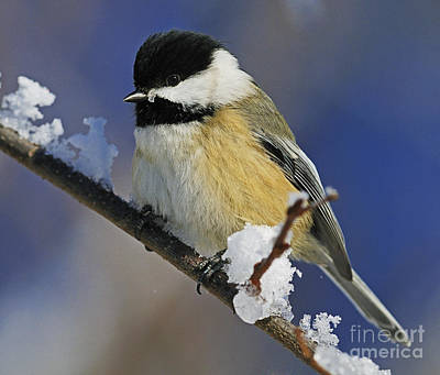 Winter Chickadee... Art Print by Nina Stavlund