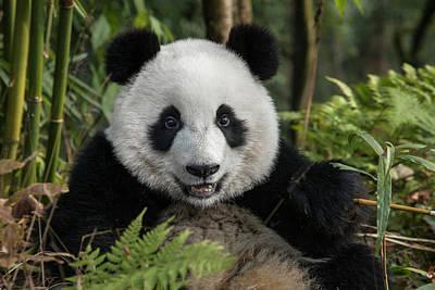 Giant Fern Photograph - China, Chengdu, Chengdu Panda Base by Jaynes Gallery
