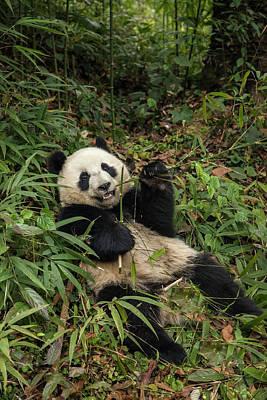 Bamboo Photograph - China, Chengdu Panda Base by Jaynes Gallery