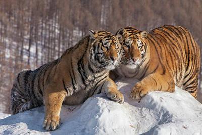 Siberian Tiger Photograph - China, Harbin, Siberian Tiger Park by Jaynes Gallery