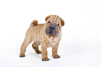 Photograph - Chinese Shar Pei Puppy Portrait by Waldek Dabrowski