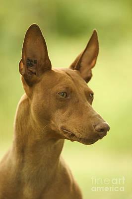 Greyhound Photograph - Cirneco Delletna Dog by Jean-Michel Labat