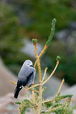 Photograph - Clarks Nutcracker At Rainbow Curve by Fred Stearns