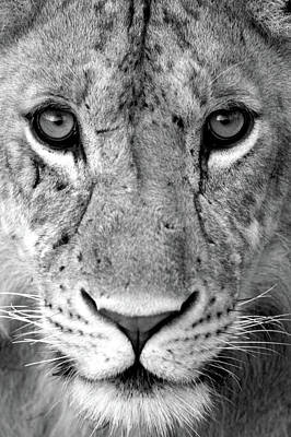 Carnivorous Photograph - Close-up Of A Lioness Panthera Leo by Panoramic Images
