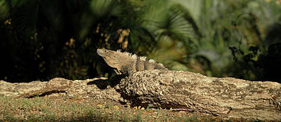 Close-up Of An Iguana, Costa Rica Art Print by Panoramic Images