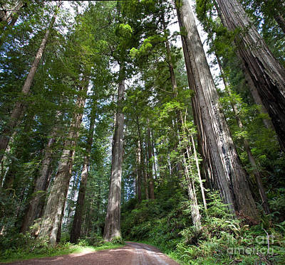 Cal State Photograph - Coast Redwood Forest by Gregory G. Dimijian, M.D.