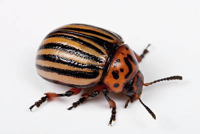 Colorado Wildlife Wall Art - Photograph - Colorado Potato Beetle by Pascal Goetgheluck/science Photo Library