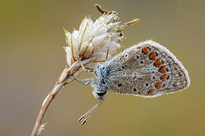 Common Blue Photograph - Common Blue Butterfly by Heath Mcdonald