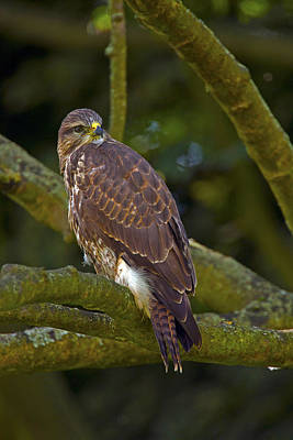 Photograph - Common Buzzard by Paul Scoullar