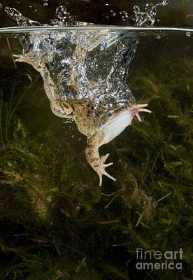 Common Frog Landing In Water Art Print