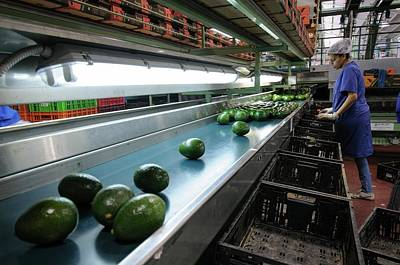 Agricultural Industry Wall Art - Photograph - Computerized Avocado Packing by Photostock-israel