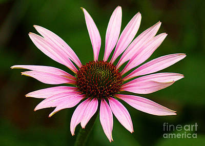 Art Print featuring the photograph Coneflower - Echinacea by Lisa L Silva