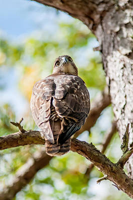 Photograph - Coopers Hawk Perched On Tree Watching For Small Prey by Alex Grichenko
