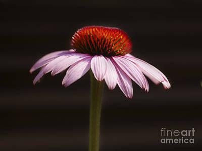 Genus Photograph - Cornflower by Tony Cordoza