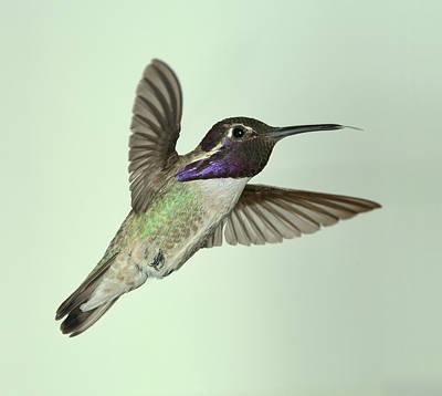 Iridescent Photograph - Costa's Hummingbird by Gregory Scott