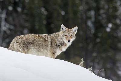 Wolf Photograph - Coyote In Winter by Ken Archer