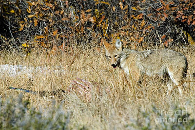 Steve Krull Royalty-Free and Rights-Managed Images - Coyotes by Steve Krull