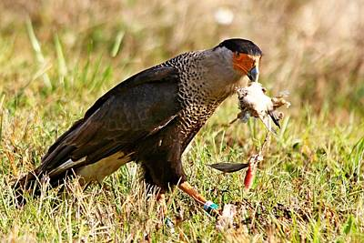 Photograph - Crested Caracara by Ira Runyan