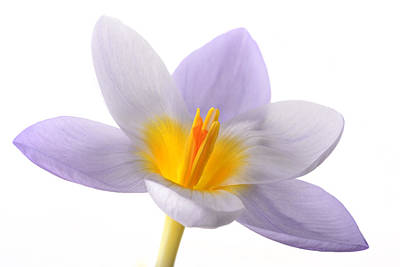 Mark Johnson Photograph - Crocus by Mark Johnson