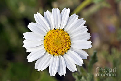 Print featuring the photograph Daisy Flower by George Atsametakis