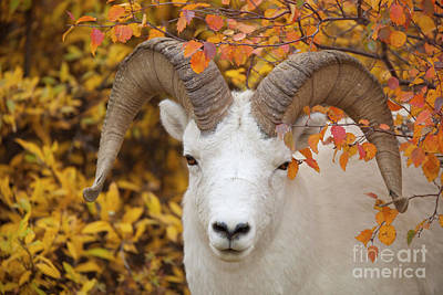 Dalls Sheep Ram In Denali Art Print by Yva Momatiuk John Eastcott