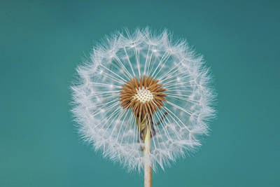 Flora Wall Art - Photograph - Dandelion by Bess Hamiti