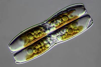 Diatom Photograph - Diatoms by Frank Fox