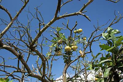 Grapefruit Photograph - Diseased Grapefruit Tree by Jim West
