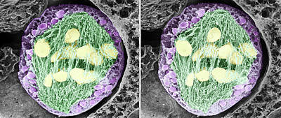 Tradescantia Photograph - Dividing Pollen Cell by Professor T. Naguro