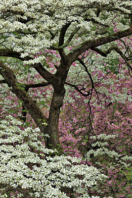 Audubon Park Photograph - Dogwood Tree In Full Bloom, Audubon by Adam Jones