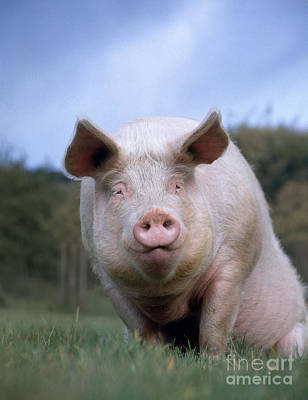 Domestic Pig Print by Hans Reinhard