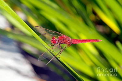 Dragonflies Painting - Dragonfly by George Atsametakis