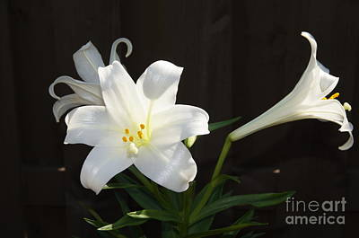 Nature Photograph - 3 Easter Lillies by Megan Cohen